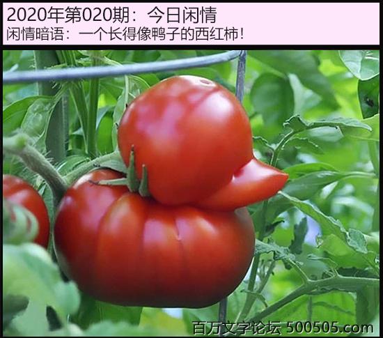 020期今日闲情:一个长得像鸭子的西红柿!