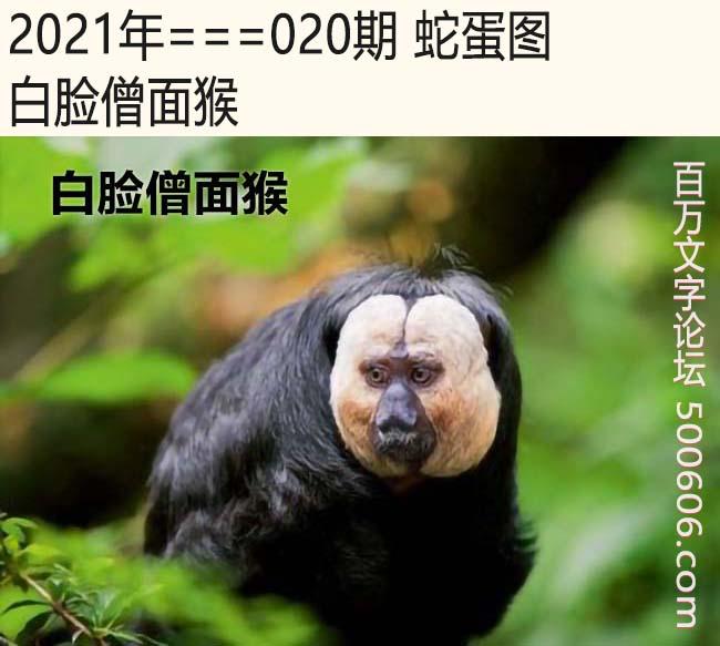 020期蛇蛋图:白脸僧面猴
